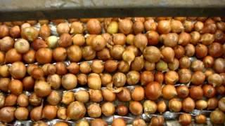 onion peel experiment