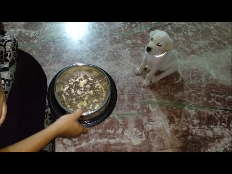 58day Lab Puppies Eat After Adding Egg With Starter..