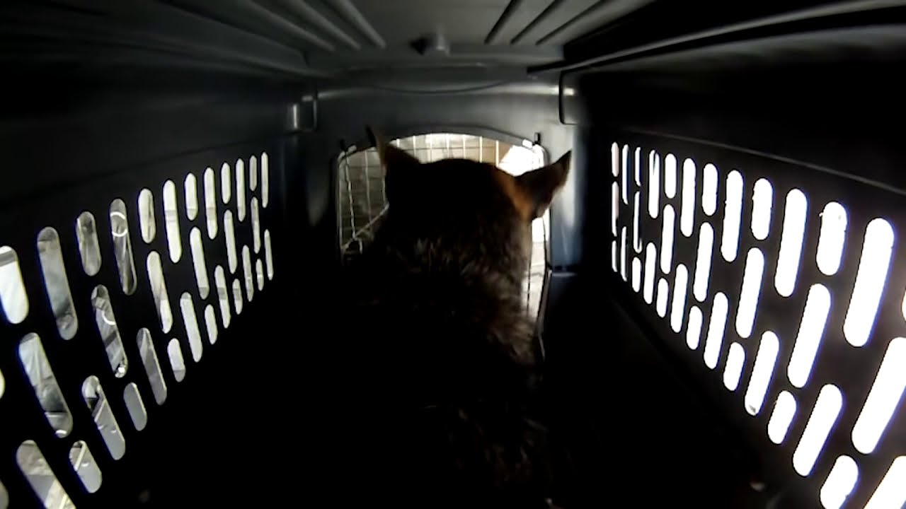 German shepherd dog going through an airline flight for Air travel with dog in cabin