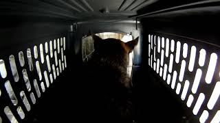 German Shepherd Dog Going Through An Airline Flight!!!