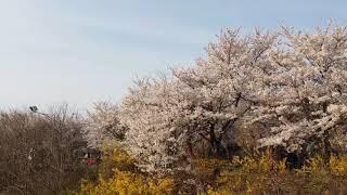 동네 한바퀴 돌며 벚꽃 구경
