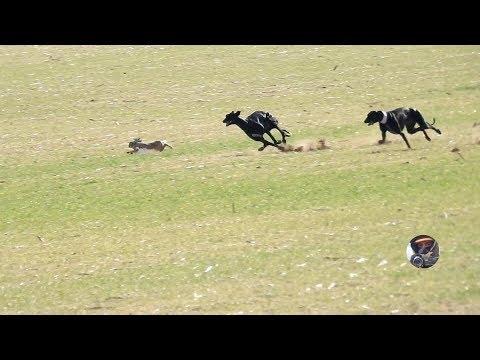 Galgos y liebres temporada 2017 / Greyhounds vs Hares