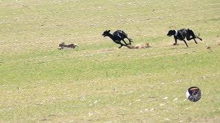 Galgos y liebres temporada 2017 / Greyhounds vs Hares thumbnail