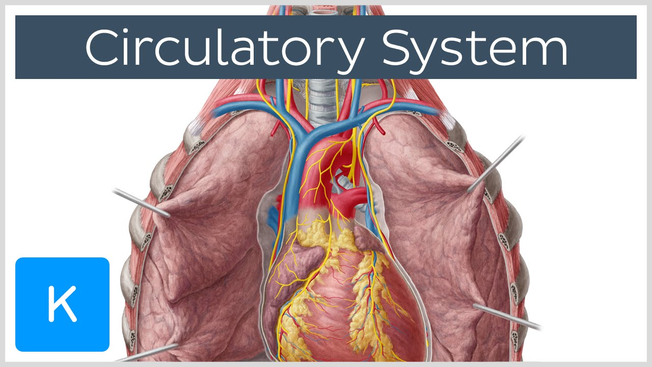 circulatory system - function, definition - human anatomy | kenhub