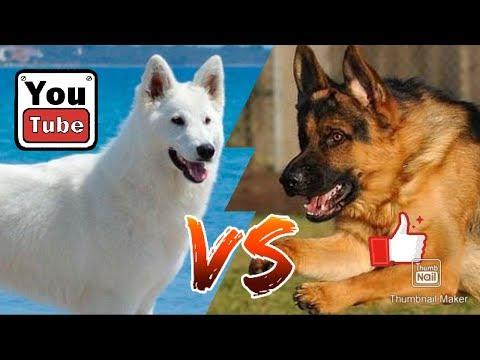 #Белая швейцарская овчарка против Немецкой овчарка//Animals Battle//