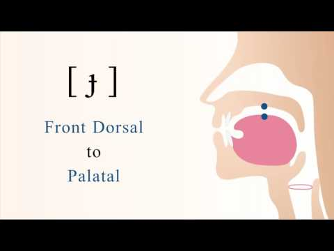 [ ɟ ] voiced unaspirated front dorsal palatal stop