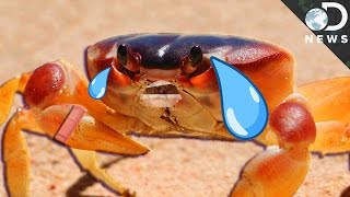 Do Crabs Feel Pain?
