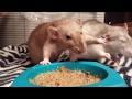 Rats have a slap fight
