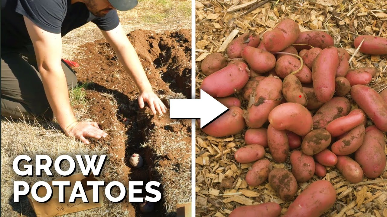 EASIEST Way to Grow Potatoes | Seed to Harvest to Kitchen 🥔