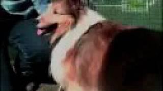 Breed All About It - Shetland Sheepdog