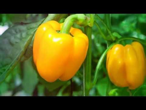 полезные красный перец свойства