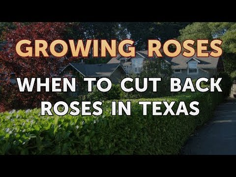 When To Cut Back Roses In Texas Youtube