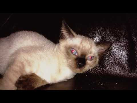 British And Siamese Himalayan Kittens cat