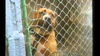 El Perro De Presa Canario en Las Islas Canarias