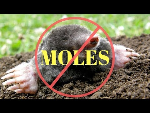 How To Kill Moles In The Garden Or Yard Youtube