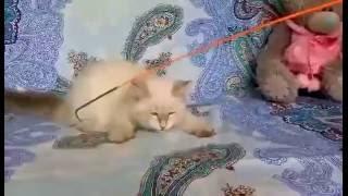 Невская маскарадная кошечка 4 месяца - Хермиона Знатный Зверь