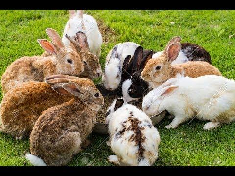 Rabbit  nepal..kisan vela