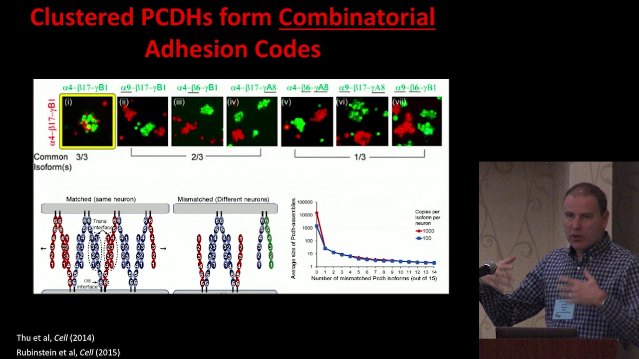 How do PCDH19 Mutations Affect Brain Development?