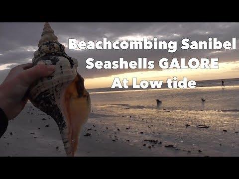 AMAZING Shells On Florida Beach!