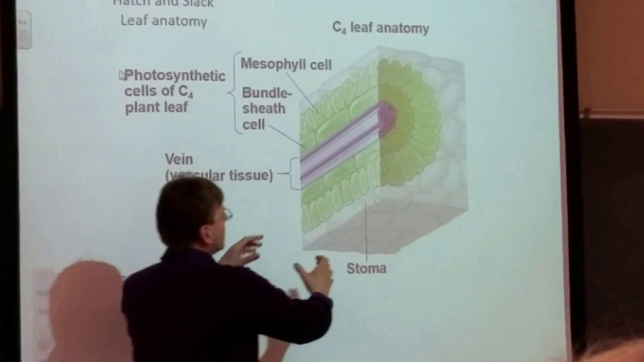 Ch. 10: (Fig. 10.20a) C4 leaf anatomy - YouTube