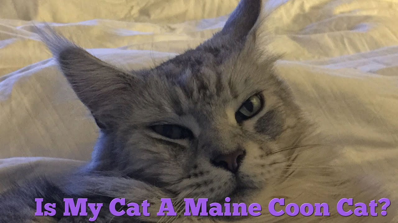 How to Tell if Your Cat is a Maine Coon Cat