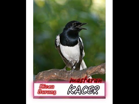 Suara Kicau Burung KACER Gacor Panjang | Khusus Untuk PANCINGAN MASTERAN KACER Yang mogok NGOCEH