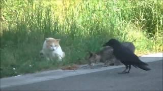 来島海峡大橋入り口にて 猫2匹とカラス2羽がゆるーく えさの取り合いを...