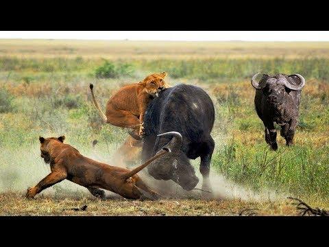 버팔로뿔에 공격당한 사자의