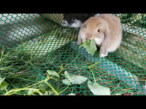 กระต่ายกินหญ้า กินผักอะไรได้บ้าง #การเลี้ยงลูกกระต่ายEp.3 #กระต่ายกับเเมวสัตว์เลี้ยงเเสนน่ารัก