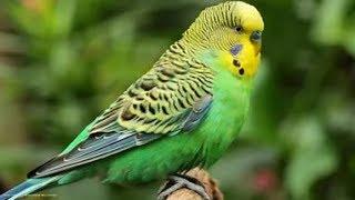 Пение волнистых попугаев. Singing budgies.