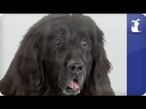 Doglopedia - Newfoundland