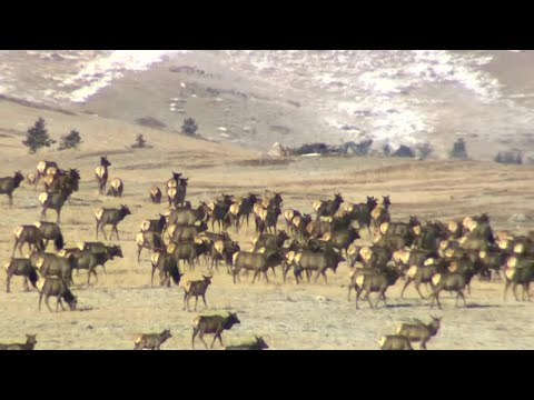 Woman seriously injured by an elk in Yellowstone National Park