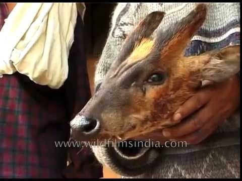 The Hunt - A Documentary On Wild Animal Poaching In North-east India