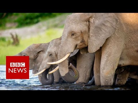 Botswana's Elephant Hunting Dilemma - BBC News