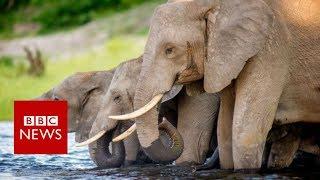 Botswana's Elephant Hunting Dilemma - BBC News