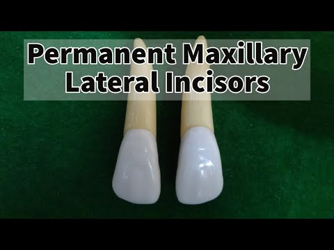 Permanent Maxillary Lateral Incisor
