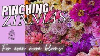 Pinching Zinnias to Promote Bloom During Summer! Cut Flower Garden