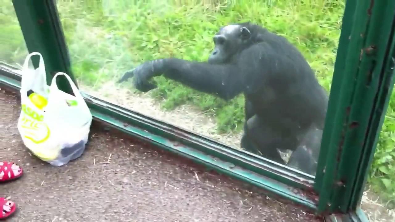 ραντεβού με χιμπατζή