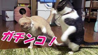 朝から始まった♀猫こむぎ&♂猫だいずの喧嘩は夜になっても終わりません ...