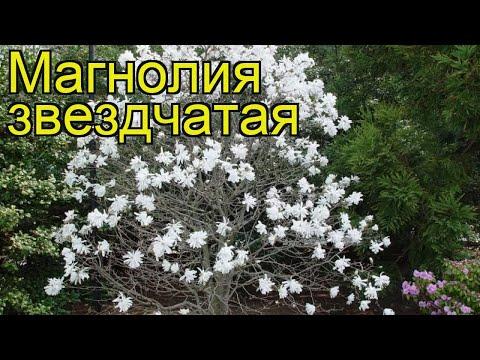 Магнолия звездчатая. Краткий обзор, описание характеристик, где купить саженцы magnolia stellata