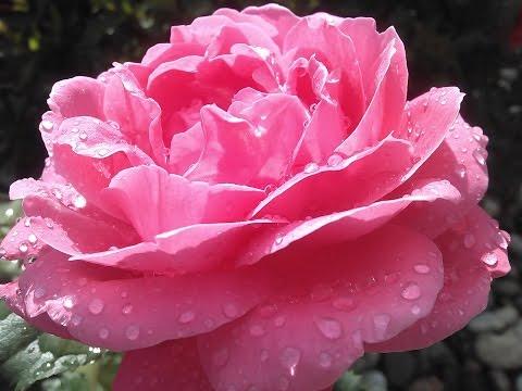 Rain drops and roses