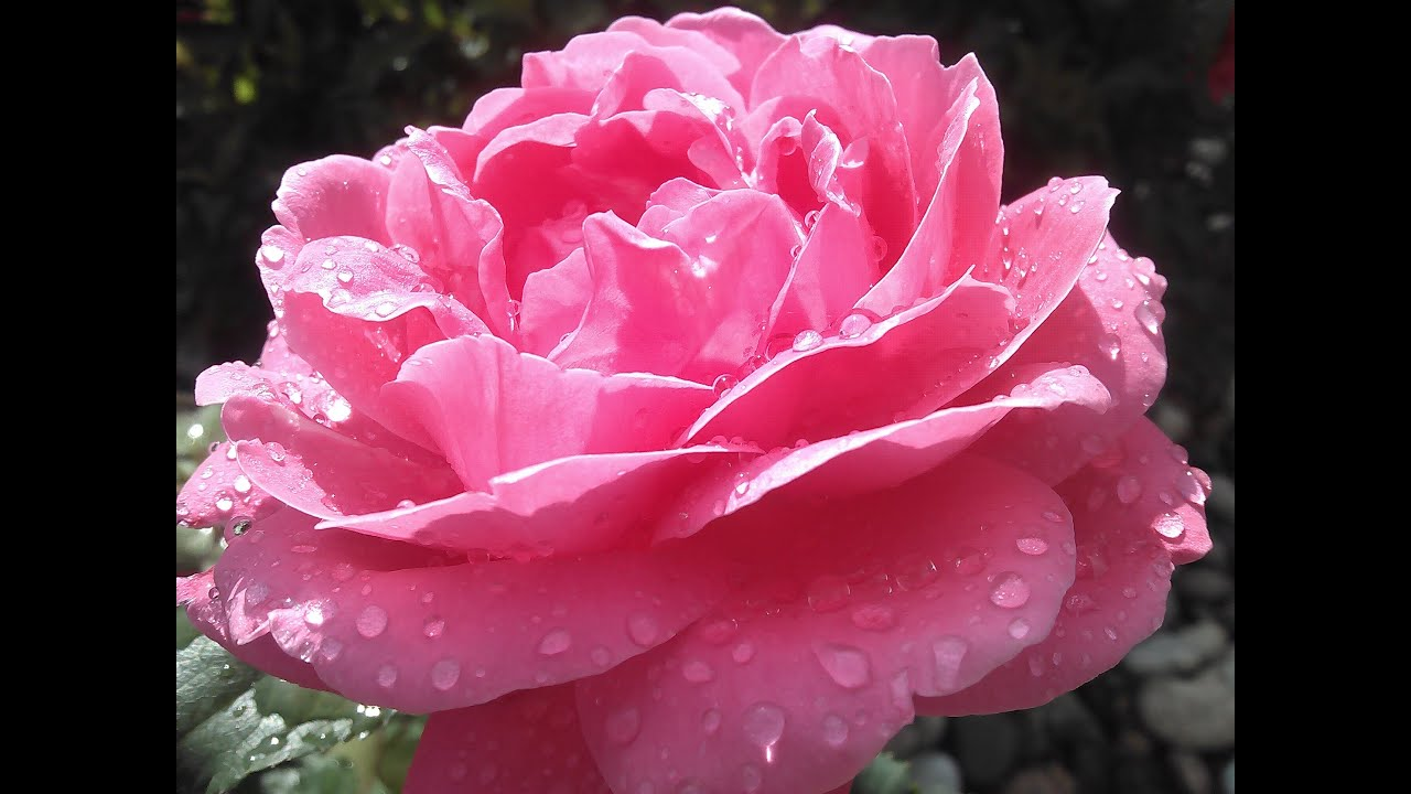 Rain Drops And Roses Youtube