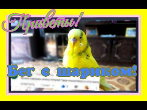 Попугай бегает за шариком! Приветы от Чики! Улетное видео с попугаем! #Сидимдома
