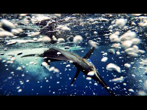 Budget Marine Spice Island Billfish Tournament 2017 - Part 1 - Sailfish Spin Action