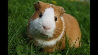 Абиссинские морские свинки: подборка видео приколов