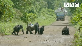 A family of gorillas wait to cross the road Gorilla Family Me: Episode 1 Preview BBC Two