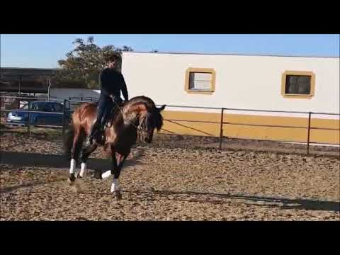 BELERO III - PRE Bay Stallion For Sale Dressage Horses In Spain