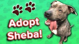 Adopt Sheba! // Blue Pit Bull // Adoptable Featurette