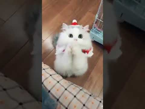 Cat Series: A cat is wishing Merry Christmas