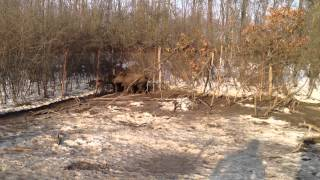 Deutsch Drahthaar,hunting Dog Training   Www.deutschdrahthaar.ro